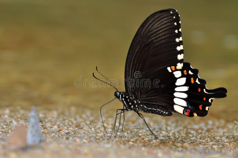 κοινός Μορμόνος πεταλού&delta στοκ φωτογραφίες με δικαίωμα ελεύθερης χρήσης