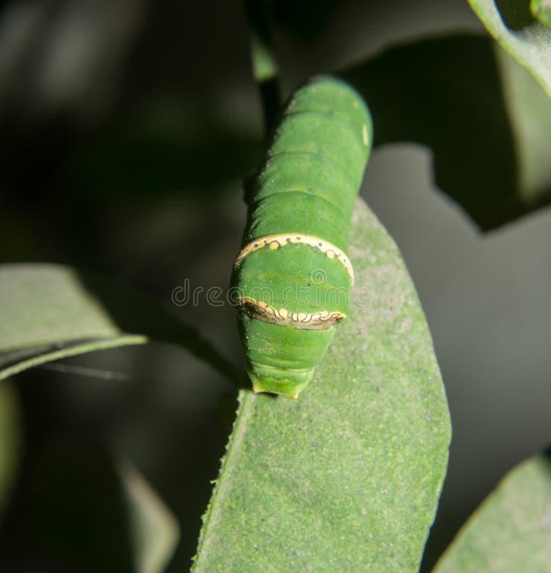 Κοινός Μορμόνος του Caterpillar πεταλούδων στοκ φωτογραφίες με δικαίωμα ελεύθερης χρήσης