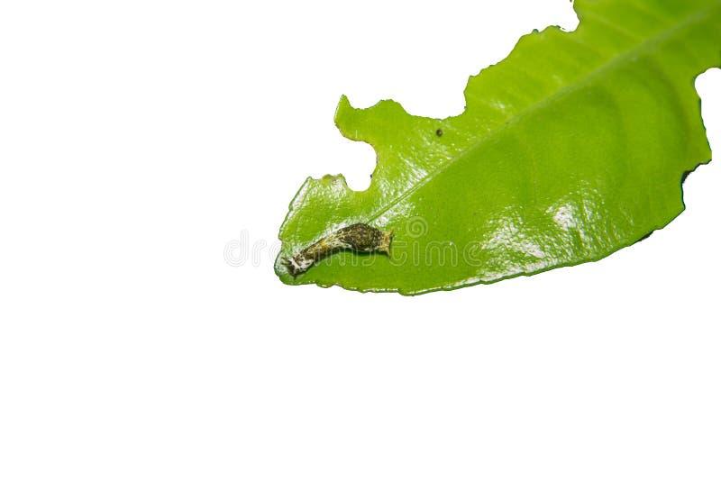 Κοινός Μορμόνος του Caterpillar πεταλούδων στοκ εικόνες με δικαίωμα ελεύθερης χρήσης