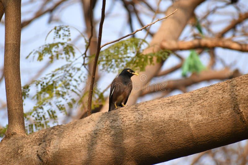 Κοινό αγιοπούλι, ινδικά tristis Acridotheres mynah στον κλάδο δέντρων στοκ εικόνες