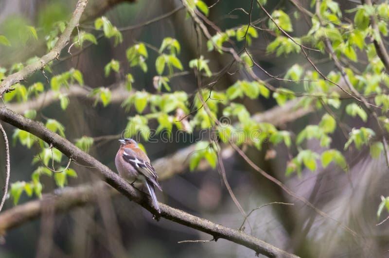 Κοινό αρσενικό Fringilla chaffinch coelebs την άνοιξη στοκ φωτογραφία με δικαίωμα ελεύθερης χρήσης