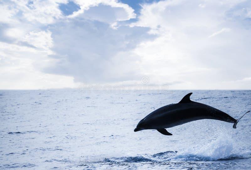Κοινό δελφίνι που πηδά μακριά, Ατλαντικός Ωκεανός στοκ εικόνα