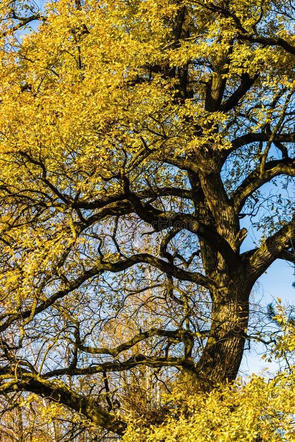 Κοινό δρύινο Quercus robur στοκ εικόνες