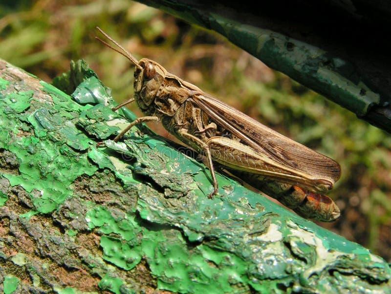 Κοινό καφετί βρετανικό Grasshopper στοκ εικόνες