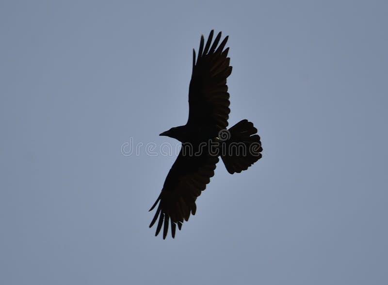 Κοινό κοράκι Corvus corax στοκ φωτογραφία