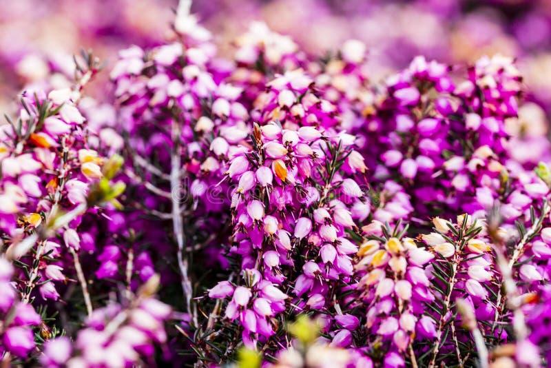Κοινό λουλούδι Calluna ερείκης vulgaris στο ροζ ή το συνταγματάρχη βελούδου στοκ φωτογραφία
