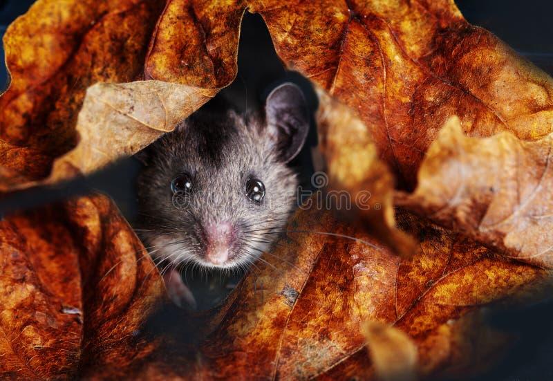 Κοινό ποντίκι που κοιτάζει μέσα από τα φύλλα πτώσης στοκ φωτογραφίες με δικαίωμα ελεύθερης χρήσης