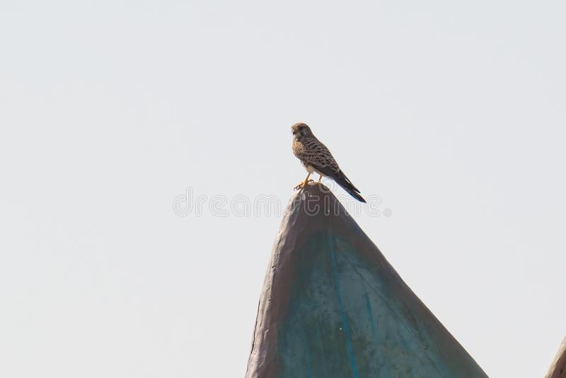 Κοινό πουλί αρπακτικών πτηνών γεράκι του θηράματος στοκ εικόνες με δικαίωμα ελεύθερης χρήσης
