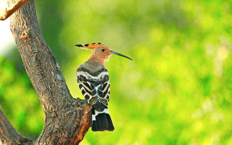 Κοινό πουλί Hoopoe στο δέντρο στοκ φωτογραφία με δικαίωμα ελεύθερης χρήσης