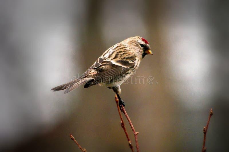 Κοινό πουλί Redpoll που σκαρφαλώνει στον κλαδίσκο που αντιμετωπίζει δεξιά στοκ εικόνες