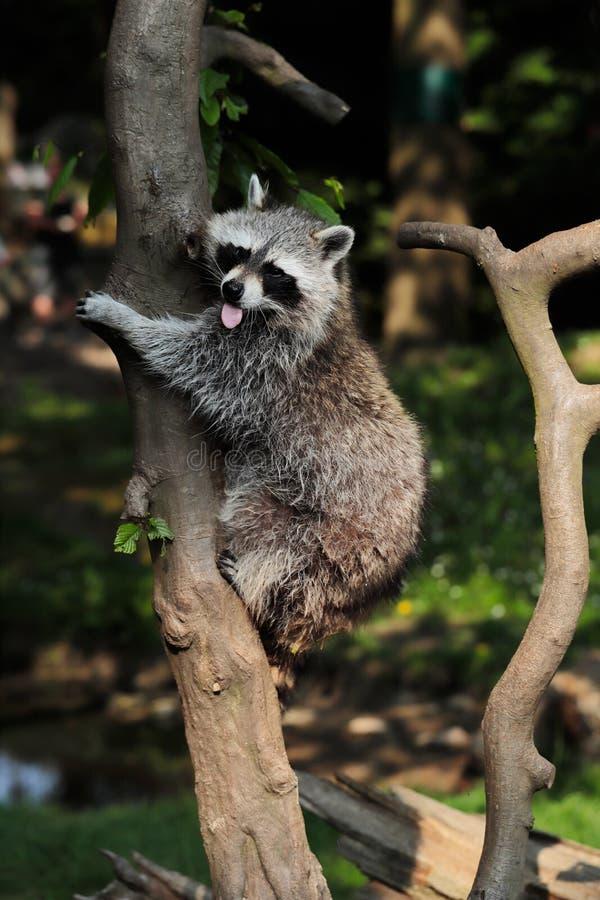 Κοινό ρακούν Lotor που αναρριχείται σε ένα δέντρο στοκ φωτογραφία με δικαίωμα ελεύθερης χρήσης