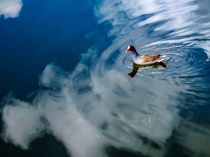 Κοινό Gallinule, που πιάνεται στα σύννεφα μιας λίμνης απεικόνισης σε μια κονσέρβα υγρότοπων της νότιας Φλώριδας στοκ φωτογραφία με δικαίωμα ελεύθερης χρήσης