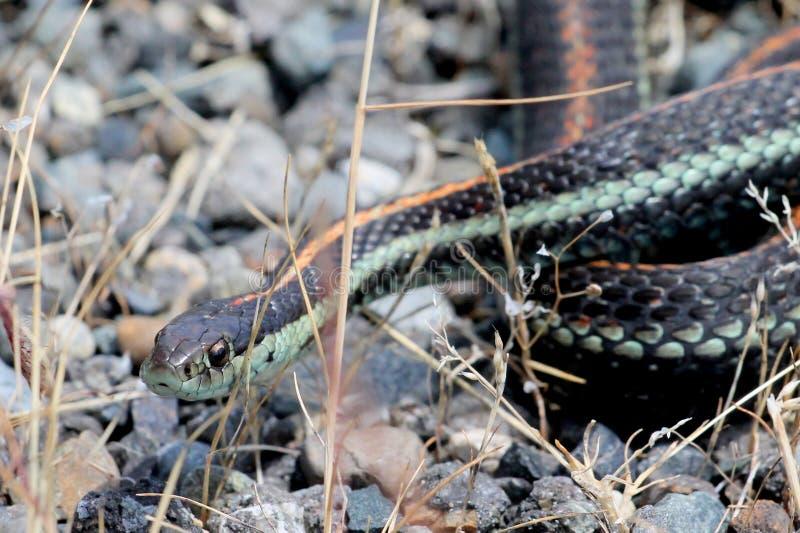 Κοινό Garter φίδι στοκ φωτογραφία