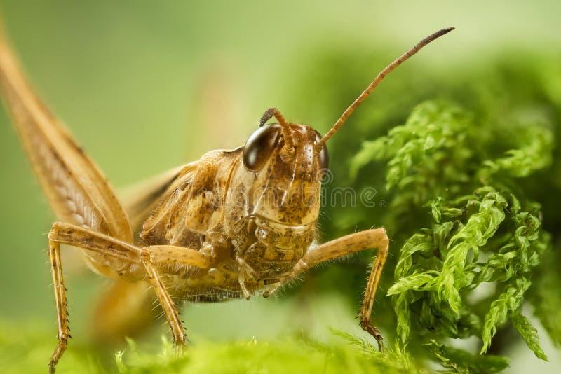 Κοινό Grasshopper τομέων, Grasshopper τομέων, Grasshopper, brunneus Chorthippus στοκ φωτογραφία