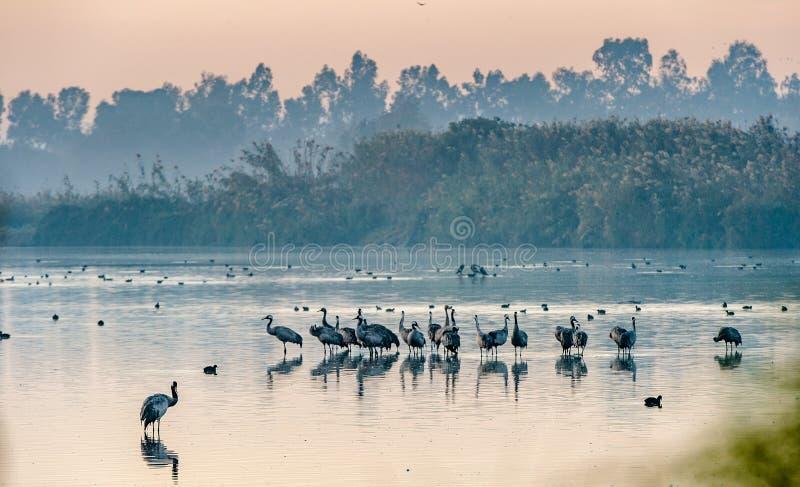Κοινό grus Grus γερανών που στέκεται στο νερό Fogy ξημερώματα δέντρα σκιαγραφιών πρωινού τοπίων σπιτιών ομίχλης στοκ εικόνες με δικαίωμα ελεύθερης χρήσης