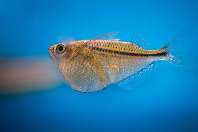 Κοινό hatchetfish ψαριών ενυδρείων στοκ φωτογραφία με δικαίωμα ελεύθερης χρήσης