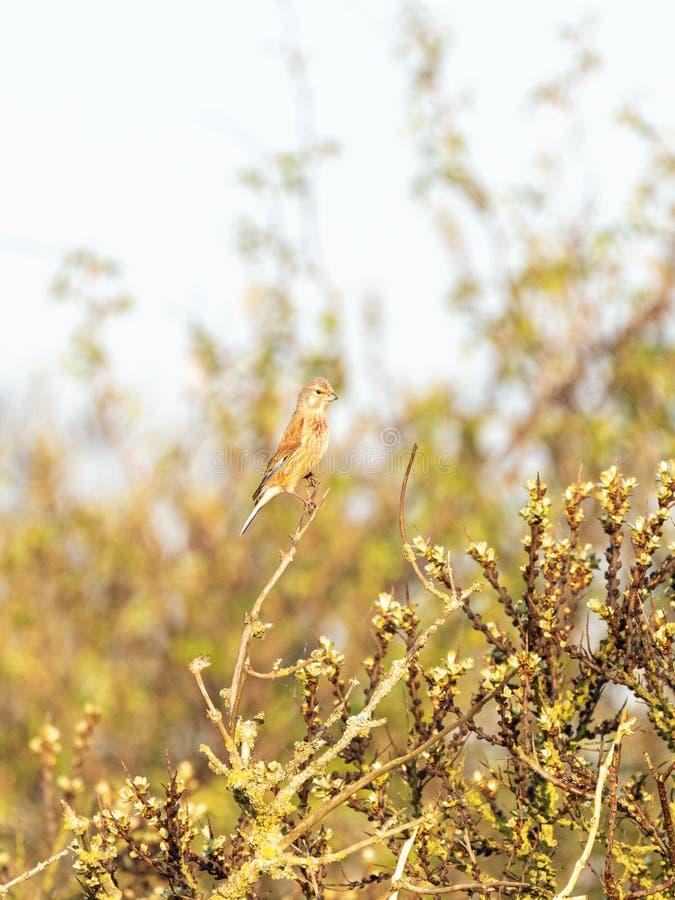 Κοινό Linnet ( Linaria cannabina)  λήφθείτε στο UK στοκ φωτογραφία