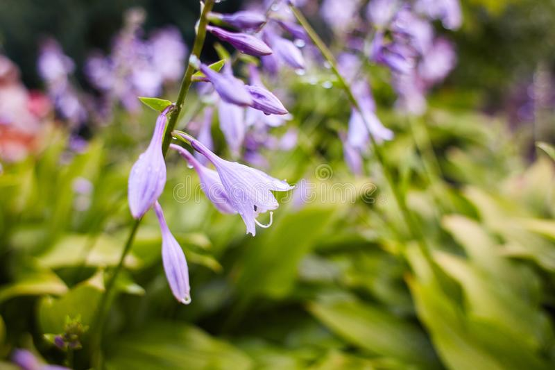 Κοινό persicifolia Campanula bellflower/ροδάκινο-με φύλλα bellflower με τις πτώσεις της βροχής στα ιώδη λουλούδια στοκ εικόνα