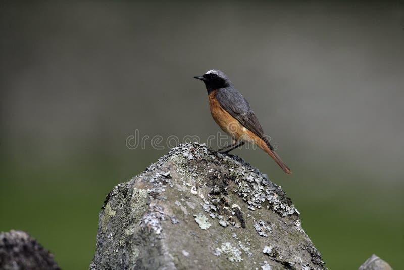 Κοινό redstart, phoenicurus Phoenicurus στοκ φωτογραφία με δικαίωμα ελεύθερης χρήσης
