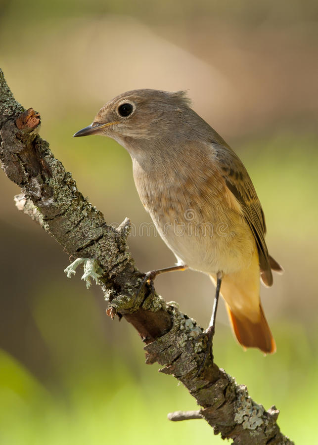 Κοινό Redstart (phoenicurus Phoenicurus) στοκ φωτογραφία