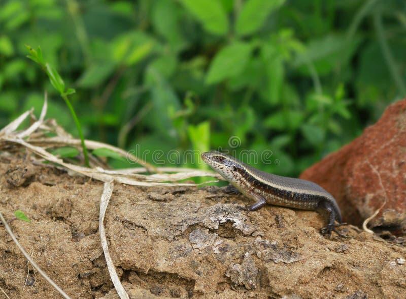 Κοινό Skink ( Carinata lankae) Eutropis  στοκ φωτογραφίες με δικαίωμα ελεύθερης χρήσης