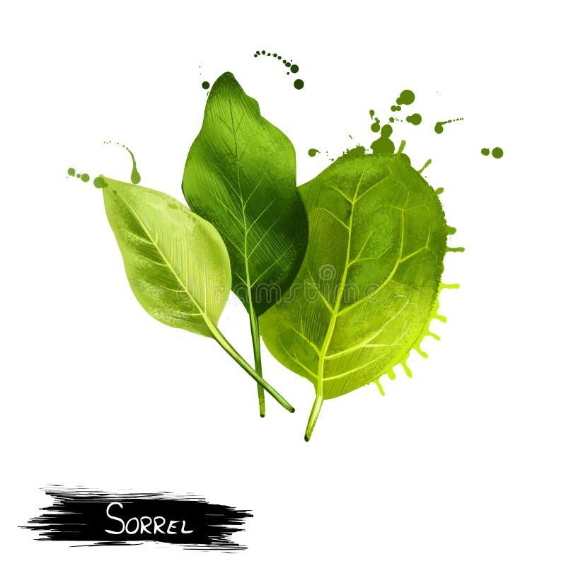 Κοινό sorrel ή κήπων acetosa Rumex Σπανάκι διανυσματική απεικόνιση