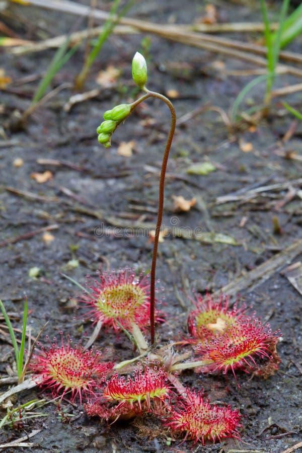 Κοινό sundew με το λουλούδι στοκ φωτογραφίες με δικαίωμα ελεύθερης χρήσης