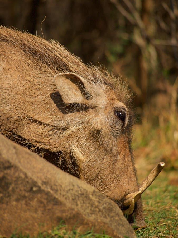 κοινό warthog στοκ φωτογραφία με δικαίωμα ελεύθερης χρήσης