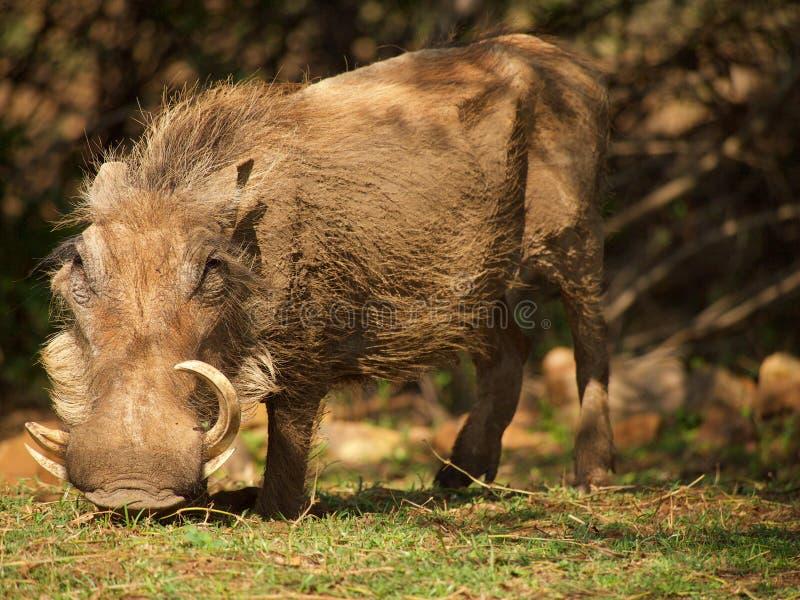 κοινό warthog στοκ φωτογραφία