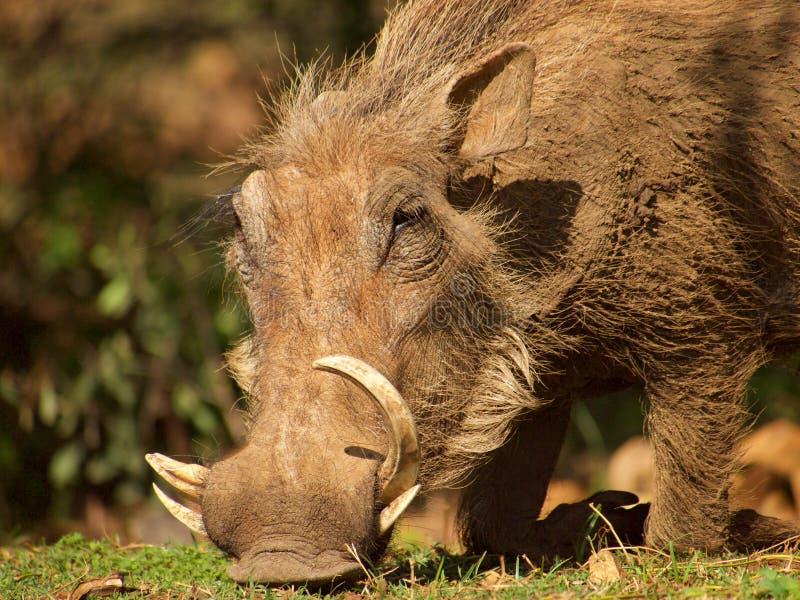 κοινό warthog στοκ φωτογραφίες με δικαίωμα ελεύθερης χρήσης