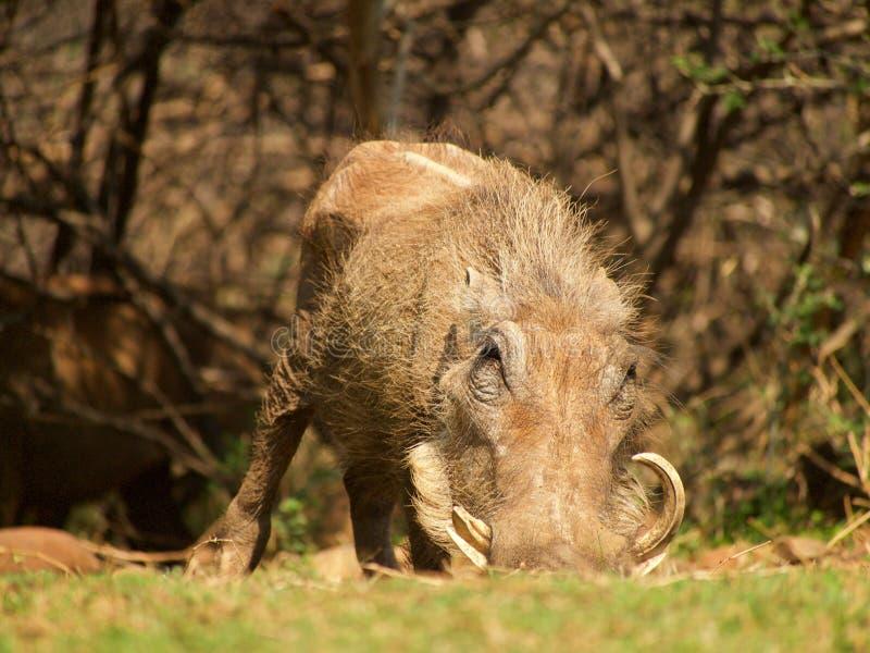 κοινό warthog στοκ εικόνα με δικαίωμα ελεύθερης χρήσης