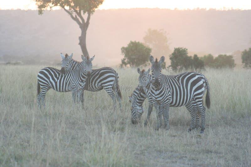 Κοινό Zebras Equus Burchells Punda Milia στοκ εικόνα με δικαίωμα ελεύθερης χρήσης