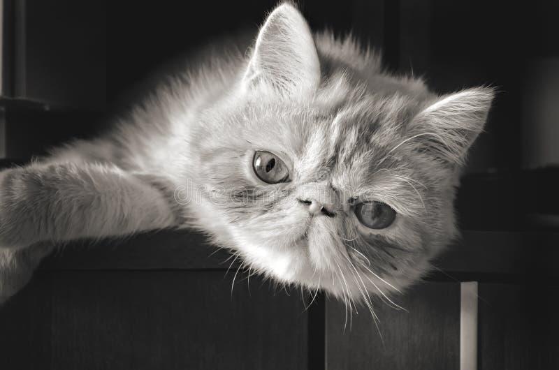 Κοιτάξτε επίμονα μιας νέας γάτας στοκ φωτογραφίες με δικαίωμα ελεύθερης χρήσης