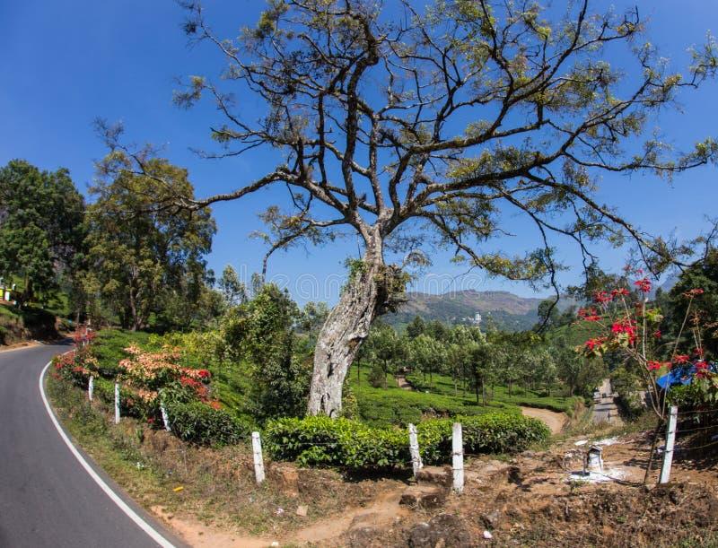 Κοιλάδα φυτειών τσαγιού στοκ εικόνες με δικαίωμα ελεύθερης χρήσης