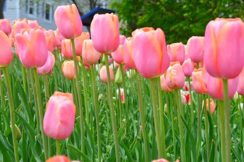 Κοκκινίζοντας κυρία Tulips στον κήπο τουλιπών νησιών ανεμόμυλων στοκ εικόνα