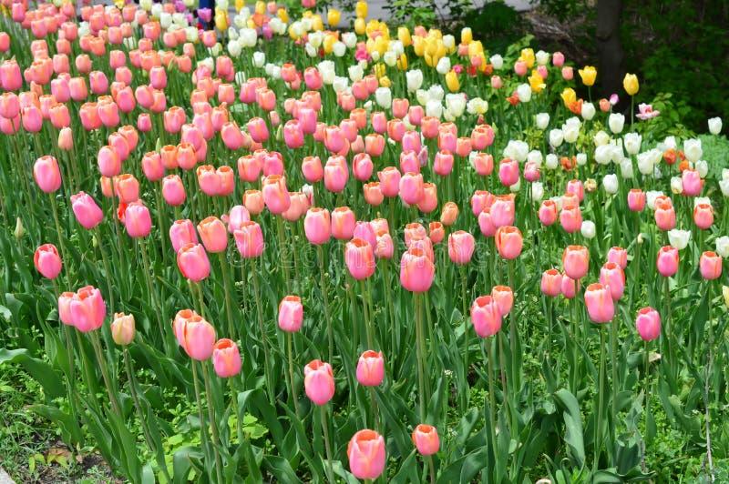 Κοκκινίζοντας κυρία Tulips στον κήπο τουλιπών νησιών ανεμόμυλων στοκ φωτογραφία με δικαίωμα ελεύθερης χρήσης