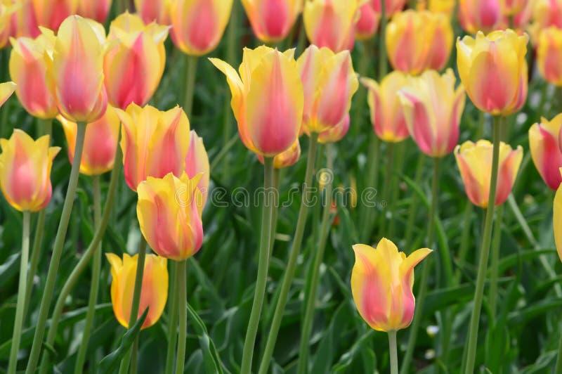 Κοκκινίζοντας κυρία Tulips στον κήπο τουλιπών νησιών ανεμόμυλων στοκ εικόνες