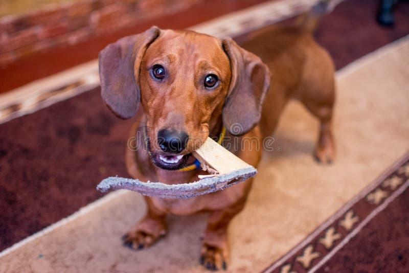 Κοκκινομάλλης φυλή σκυλιών dachshund στοκ φωτογραφίες