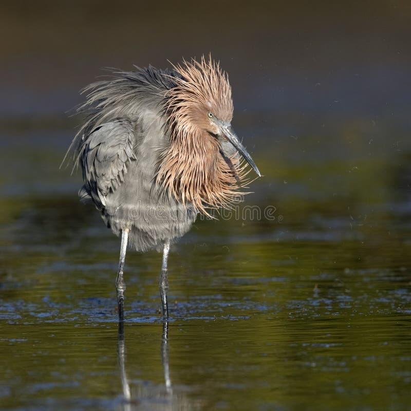 Κοκκινωπός τσικνιάς που αναστατώνει τα φτερά του - Κομητεία Πινέλλας, Φλώριδα στοκ εικόνες με δικαίωμα ελεύθερης χρήσης