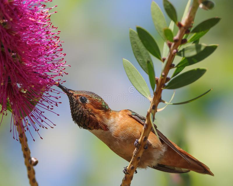 Κολίβριο Άλλεν ` s στο λουλούδι callistemon στοκ φωτογραφία με δικαίωμα ελεύθερης χρήσης