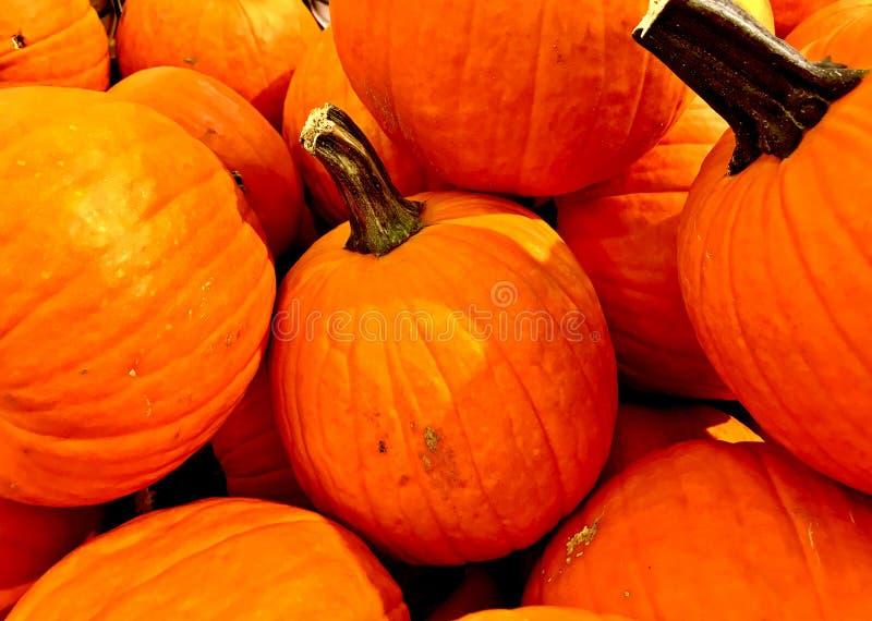 ΚΟΛΟΚΥΘΑ, πορτοκάλι, συγκομιδή πτώσης, ημέρα των ευχαριστιών, μέσο μέγεθος στοκ εικόνα