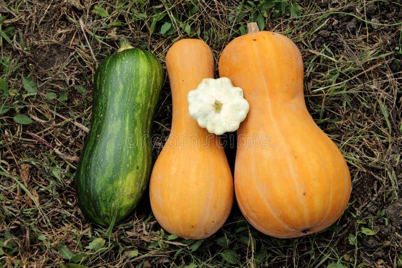 Κολοκύθα, κολοκύθια - λαχανικά κήπων στοκ φωτογραφία