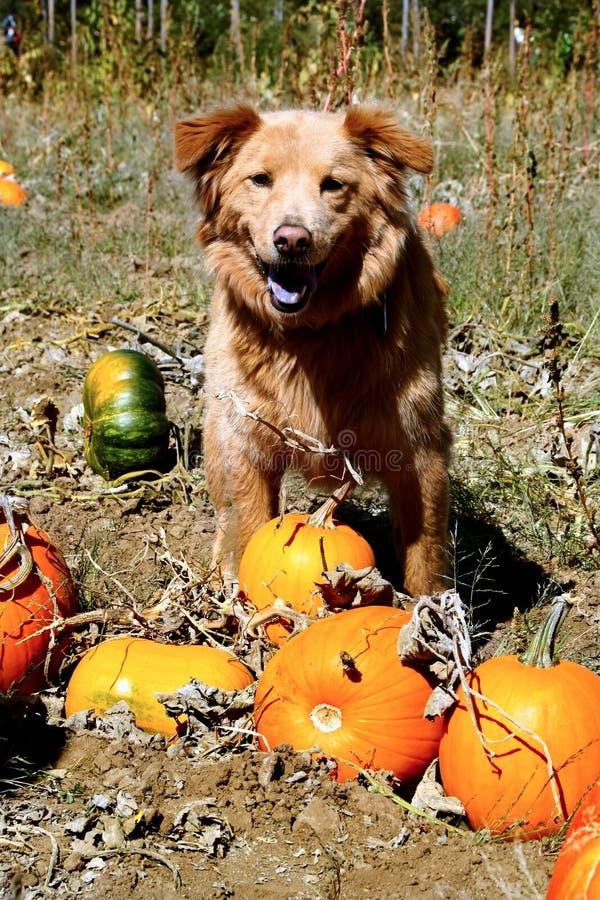 κολοκύθες σκυλιών στοκ εικόνα με δικαίωμα ελεύθερης χρήσης