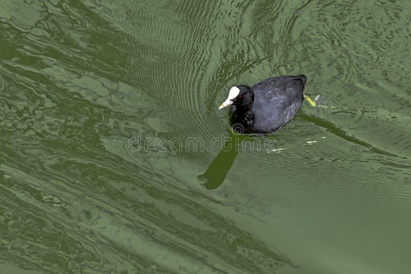 Κολυμπώντας ευρασιατική φαλαρίδα στο γαλλικό πάρκο στοκ εικόνες