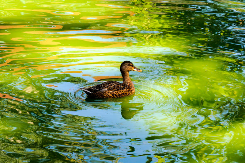 Κολυμπώντας πάπια στοκ φωτογραφία