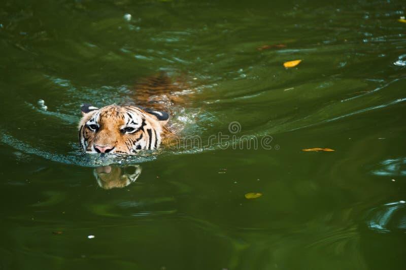 κολυμπώντας τίγρη λιμνών στοκ φωτογραφία