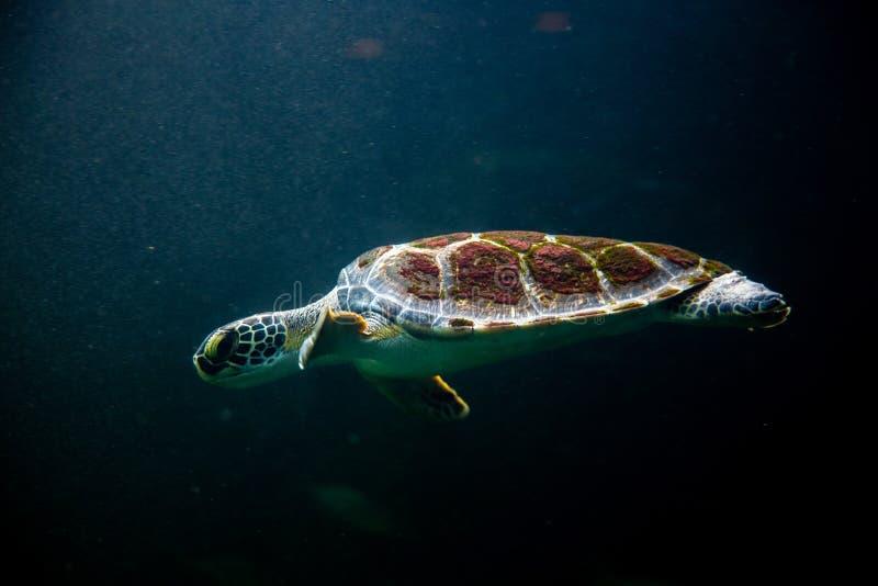 κολυμπώντας χελώνα στη σκοτεινή ωκεάνια θάλασσα νερού στοκ εικόνες με δικαίωμα ελεύθερης χρήσης