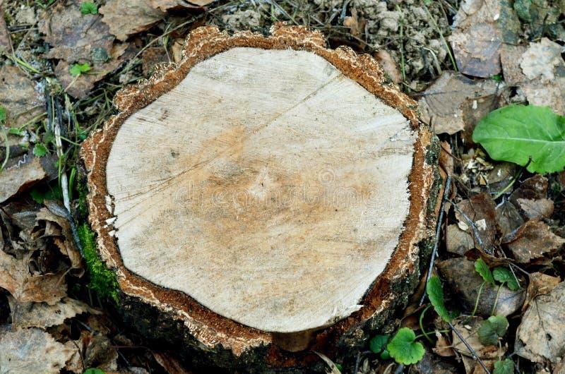 Κολόβωμα δέντρων, πριονισμένο ξύλο, δαχτυλίδια στην περικοπή πριονιών του δέντρου στοκ φωτογραφίες