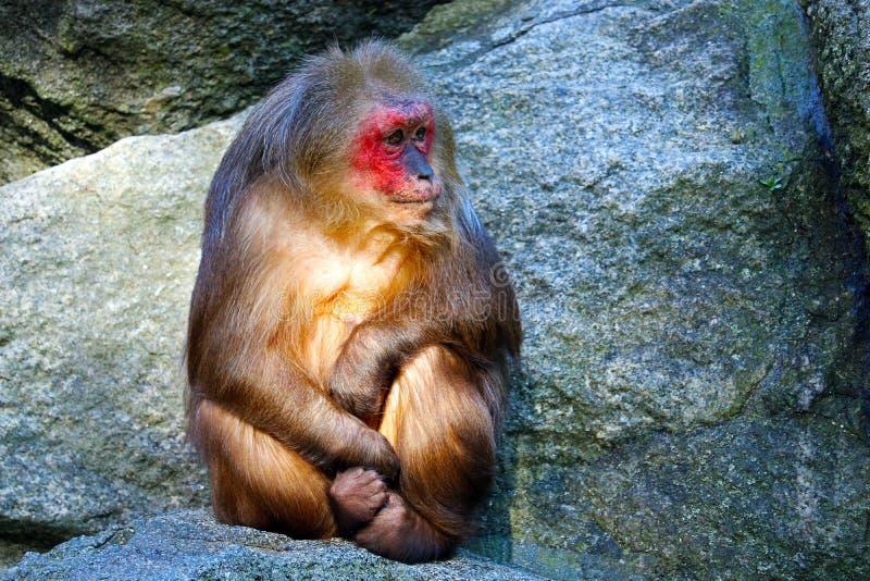 Κολόβωμα-παρακολουθημένος macaque στοκ εικόνες