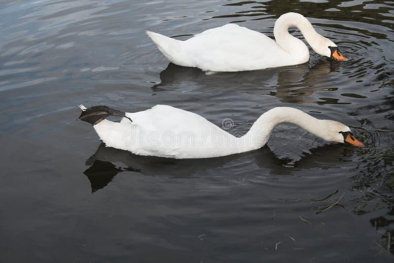 κολύμβηση που συγχρονίζεται στοκ εικόνα
